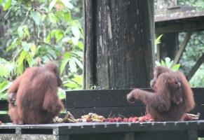 Sepilok Orang Utan Rehabilitation Centre in Borneo