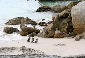 African penguins in Simon's Town