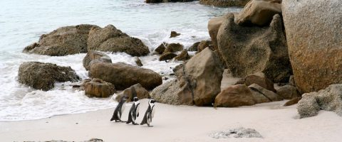 Simon's Town African Penguins