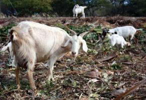 Aletta's goat farm Semper Kontentu