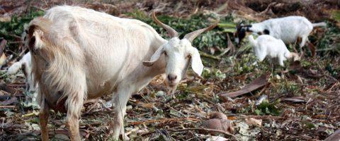 Semper Kontentu Goat Cheese Bonaire