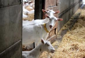 Organic goats farm Reigershof in Klemskerke, De Haan
