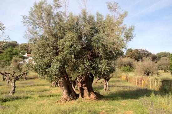 olive tree horta da moura