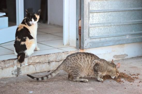 picadeli ibiza cats