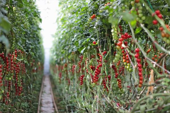 Juanita tomatoes Finnøy