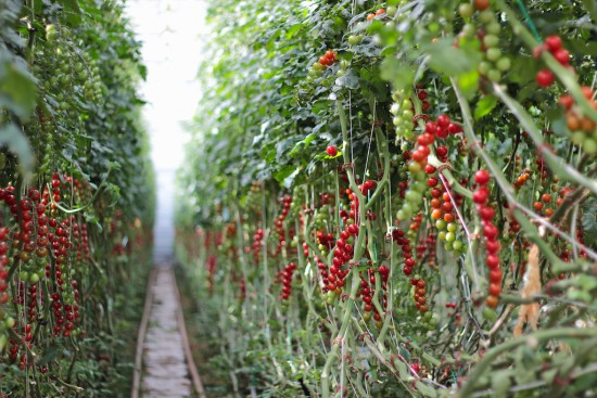 Juanita tomatoes Finnoy