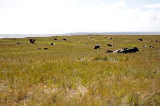 Kvassheim cows at the beach
