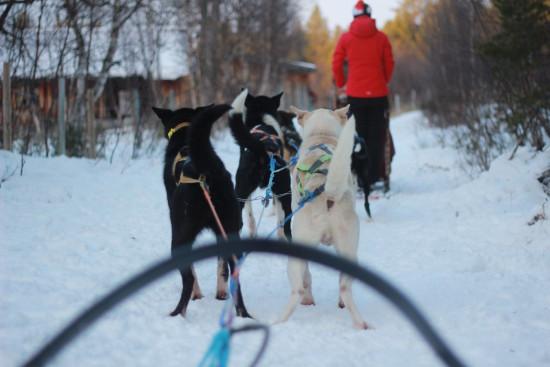 Alaskan Husky Tours Røros