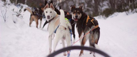 Alaskan Husky Tours Røros Trøndelag Norway safari huskies dog sliding