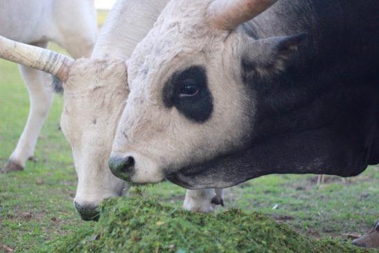 Puszta Hungary Hajdúszoboszló Debrecen travel Szürkemarha cows cow