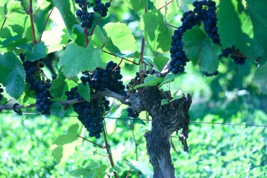 Hällåkra Vingård wine sweden swedish wine organic