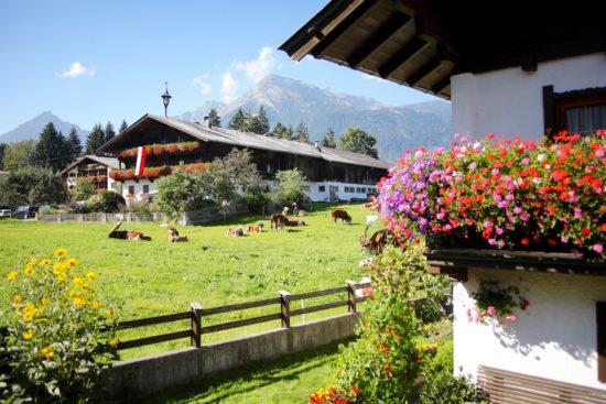 Almabtrieb in Tyrol cow cows reith im alpbachtal austria purefoodtravel