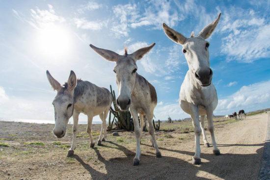 Donkeys Sanctuary Aruba