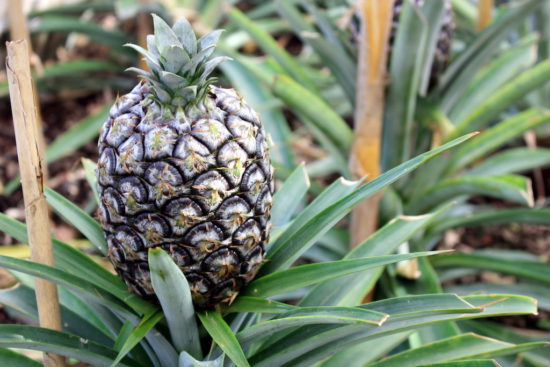 Arruda pineapples Azores food travel tips