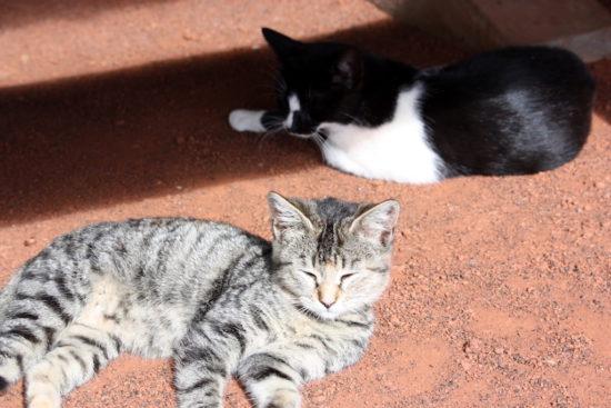 Azores cats