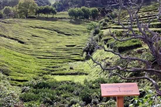 Organic tea Gorreana Azores food travel tips