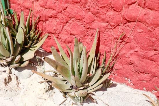 Aloe vera Aruba