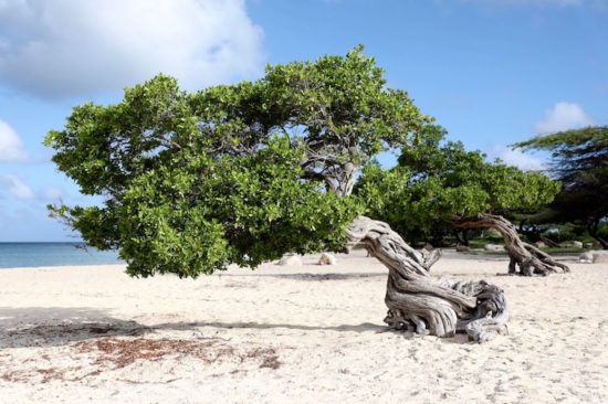 Fofoti trees Eagle Beach Aruba things to do in Aruba