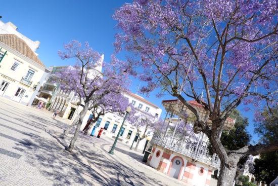 FaroJacaranda tree